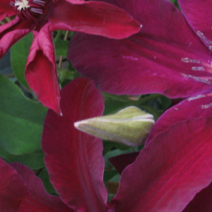 clematis-huvi-flower-bloom
