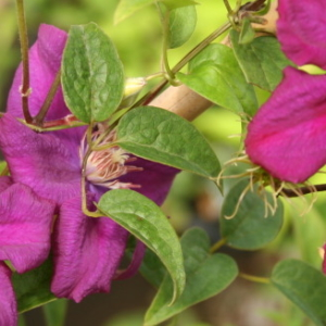 clematis-romantika-plants-for-the-yard