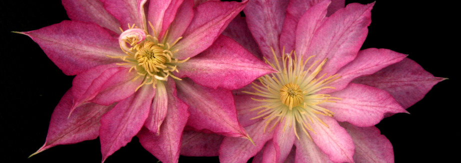 blooms-of-clematis-asao-flowers-buy-direct.jpg
