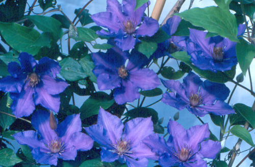 clematis-eyres-gift-flowers.jpg