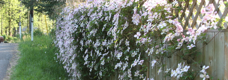 clematis-montana-rubens-vines-buy-direct.jpg